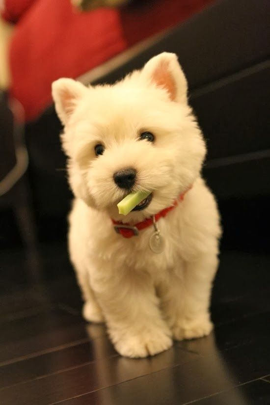 Westie Puppies Cute Animals Cute Animal Pictures Puppies