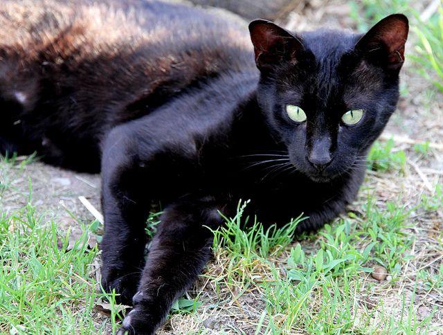 F4 Melanistic Savannah Cat Savannah Savane Beaux Chats