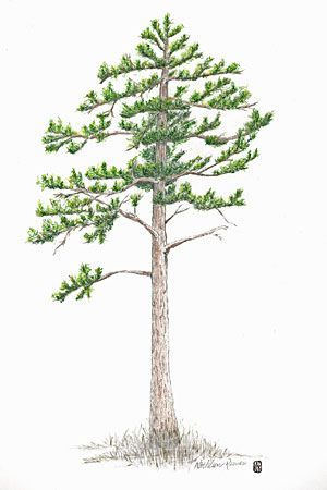 how to draw a white pine tree