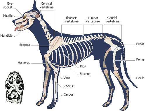 skeletal reference | canine reference | Pinterest