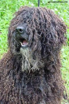 Perro De Aguas Español Perro De Agua Español Perros De Agua Perros