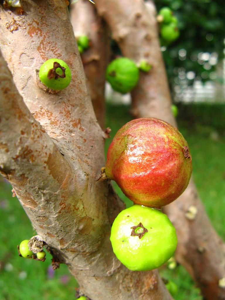 Weird Fruits That Grow On Trees 3