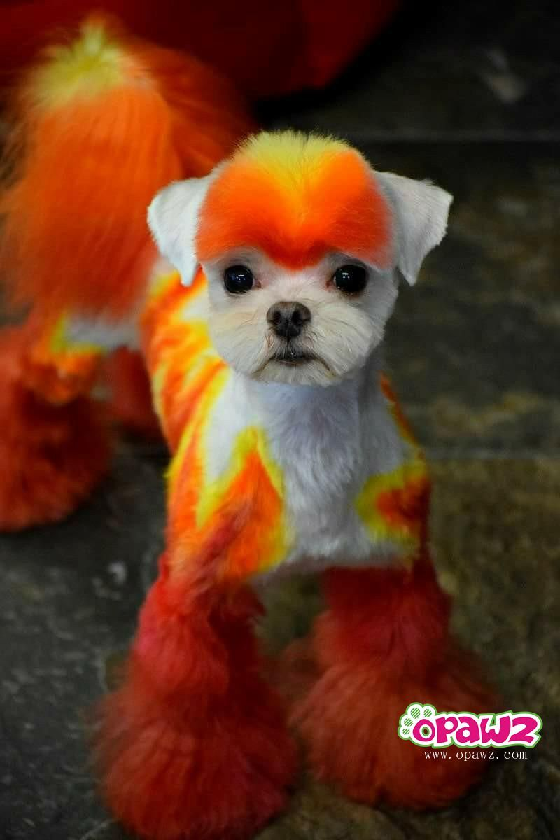 So nice color! OPAWZ Permanent Hair Dye-Ardent Orange. | dog design ...