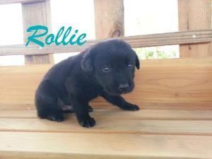 Rollie Is An Adoptable Black Labrador Retriever Dog In Houston Mo Rollie Lab Mix Male Bab Labrador Retriever Dog Black Labrador Retriever Labrador Retriever