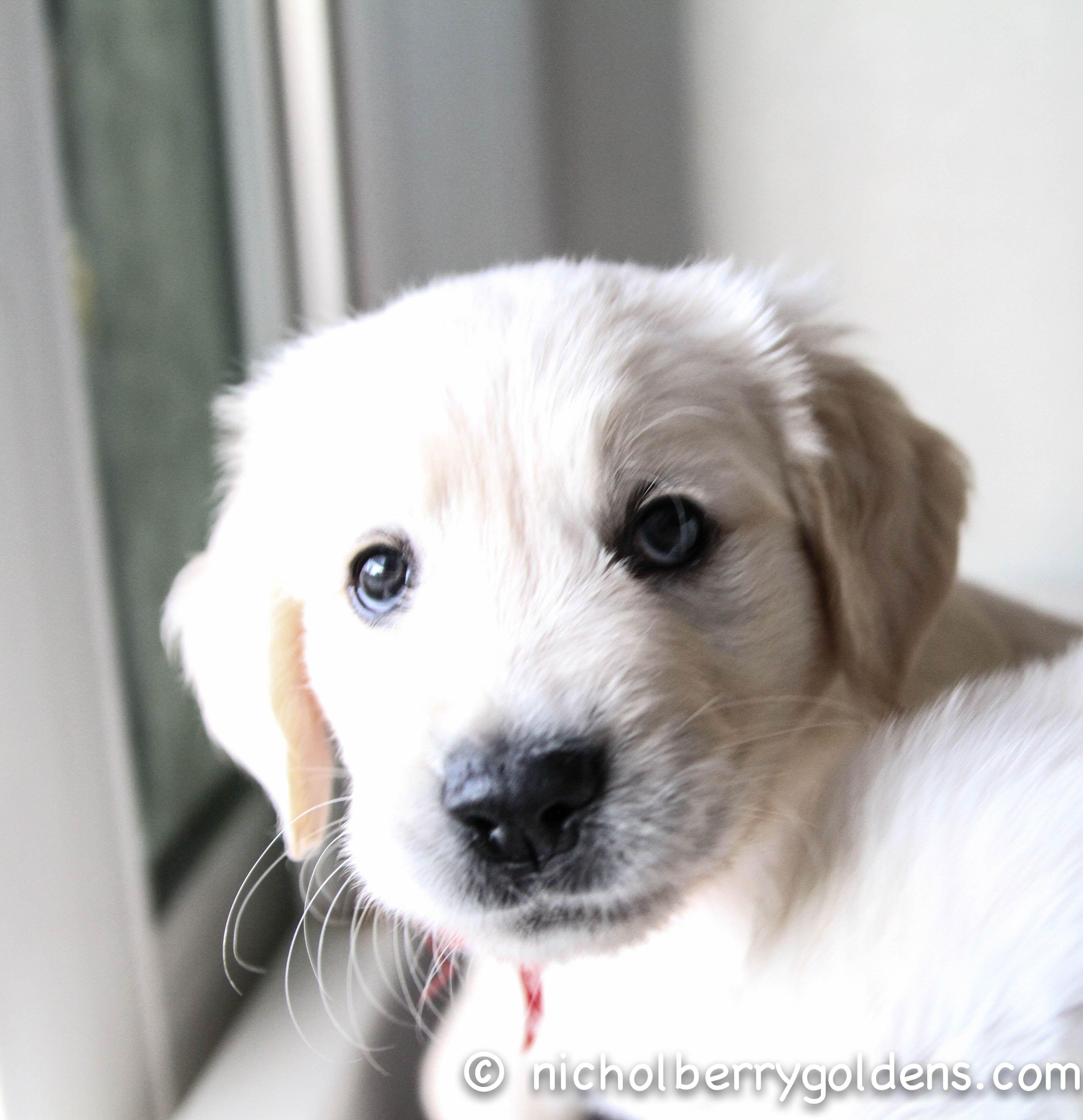 A Georgia Roman Pup Hello Cuteness Www Nicholberrygoldens Com