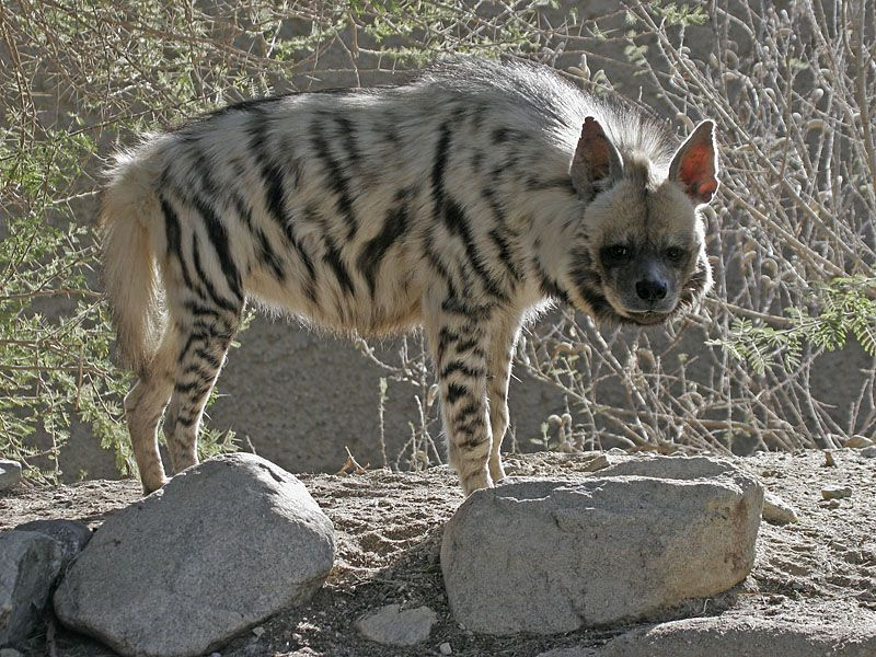 Animals Native to Ethiopia one of the most dangerous