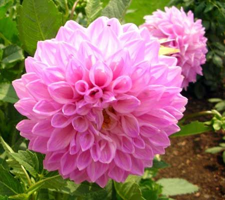 6 Meanings Of Flowers Beginning With D Flowers Flower Meanings Dahlia Flower