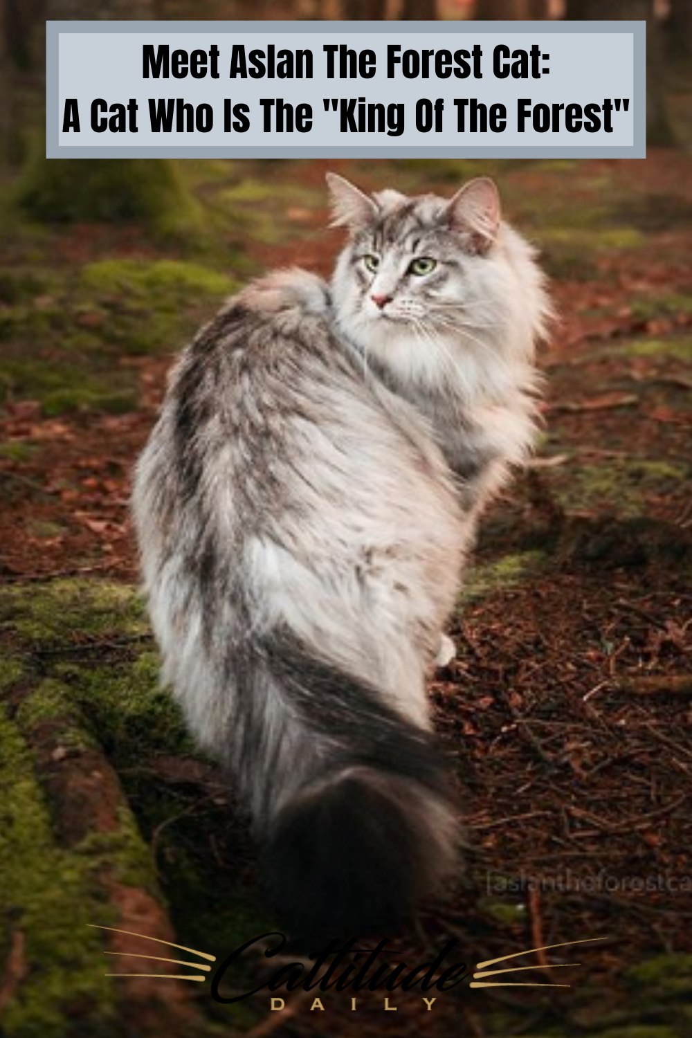 Meet Aslan The Forest Cat A Wedgie Kitty With A Love For The Great Outdoors In 2020 Forest Cat Cats Norwegian Cat