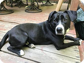 Border Collie American Staffordshire Terrier Mix Dog For Adoption