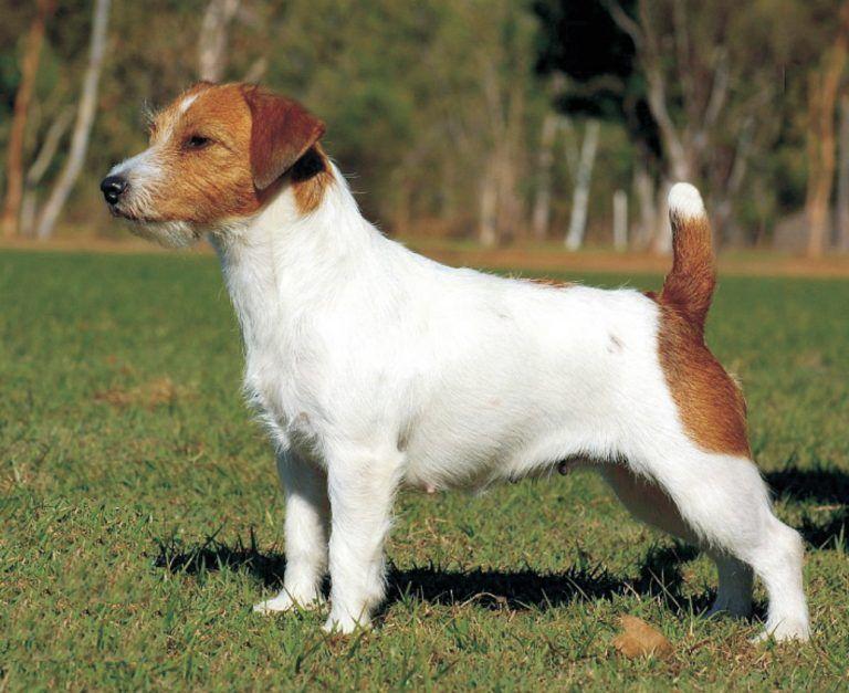 Jack Russell Terrier Characteristics Jack Russell Jack Russell Terrier Jack Russell Terrier Puppies