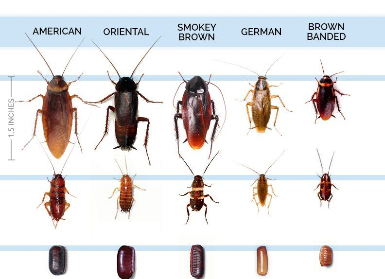 Cool How To Get Rid Of Palmetto Bugs Simple Tricks Tips 2017 Check More At Https Cozzy Org How To Get Rid Of Pa Roach Infestation Palmetto Bugs Roaches