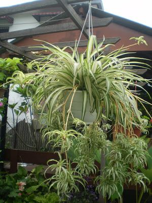 Spider Plant Google Search Chlorophytum Comosum Often Called The Airplane Or Hen And Ens Is A Flowering Perennial Herb