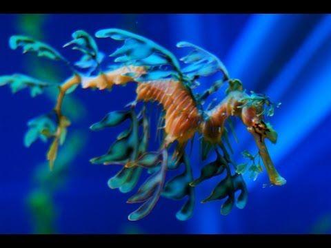 Leafy Seadragons : Documentary on Australia's Most Complex Sea Horse