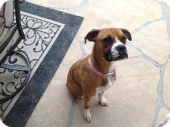 Phoenix, AZ - Boxer. Meet Akira a Dog for Adoption.