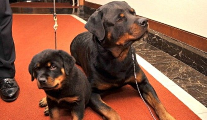 Rottweiler Saves Boy From Pitbull Rottweiler Puppies Baby Dogs