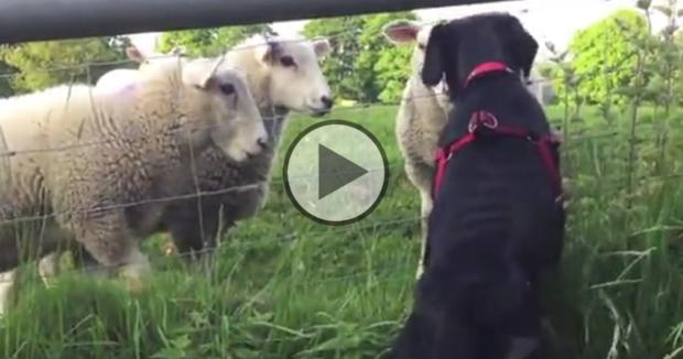 Puppy & Sheep - http://labradorfanclub.com/sheep/#utm_sguid=154165,e89c9693-7b27-fd3e-8783-751c219281ed