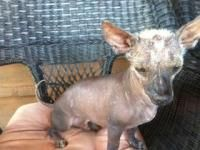 Bajo - Xoloitzcuintle (Mexican Hairless) Xoloitzcuintli Primitive Breed Rescue