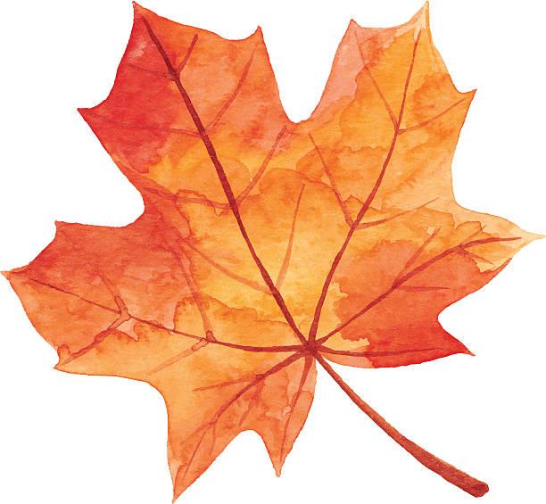 Best Maple Leaf Illustrations Royalty Leaf Illustration Maple Leaf Drawing Fall Watercolor