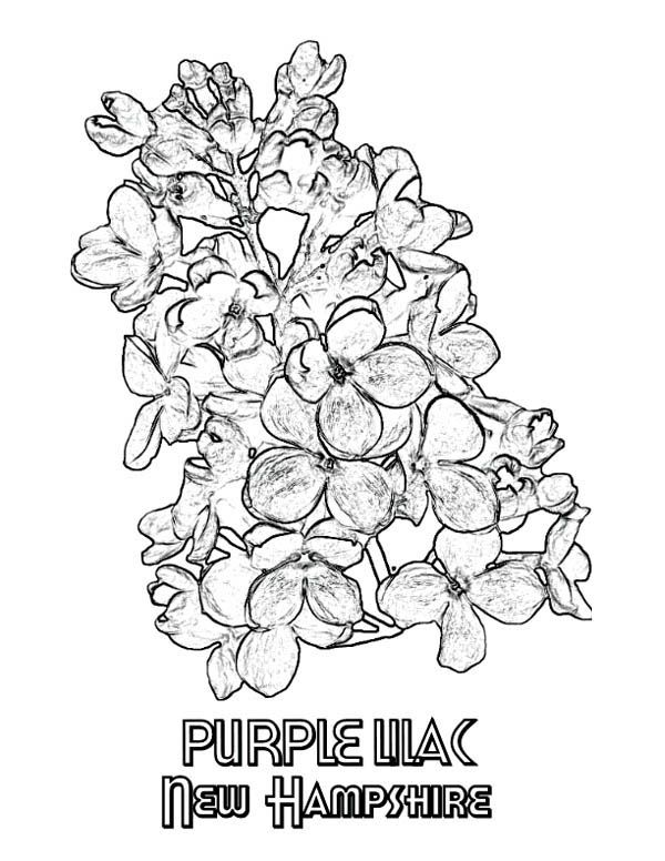 Lilac New Hampshire Purple Lilac Coloring Page Coloring Pages