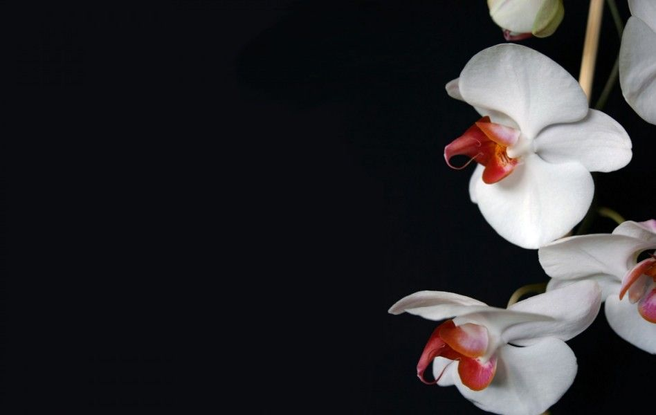 White Orchid Flowers Wallpaper HD, White Orchid Flowers Wallpaper HD free