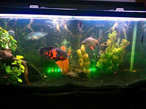 90 gallon tank 4 39 x2 39 x1 5 39 with tiger oscar jack dempsey for Bluegill fish tank