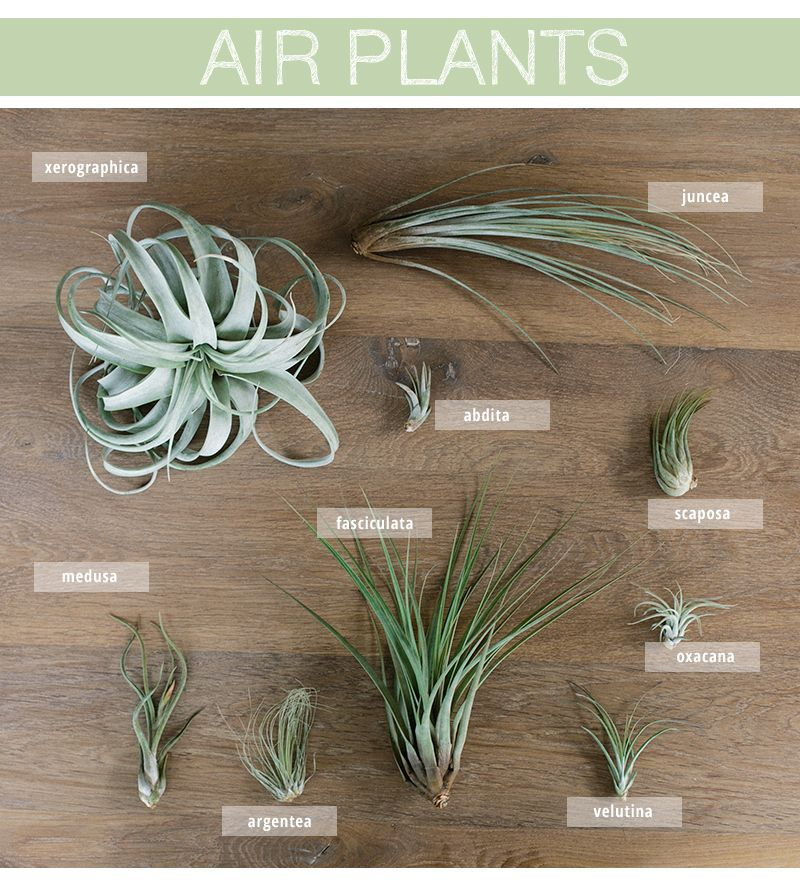 Air Plants Care And Styling