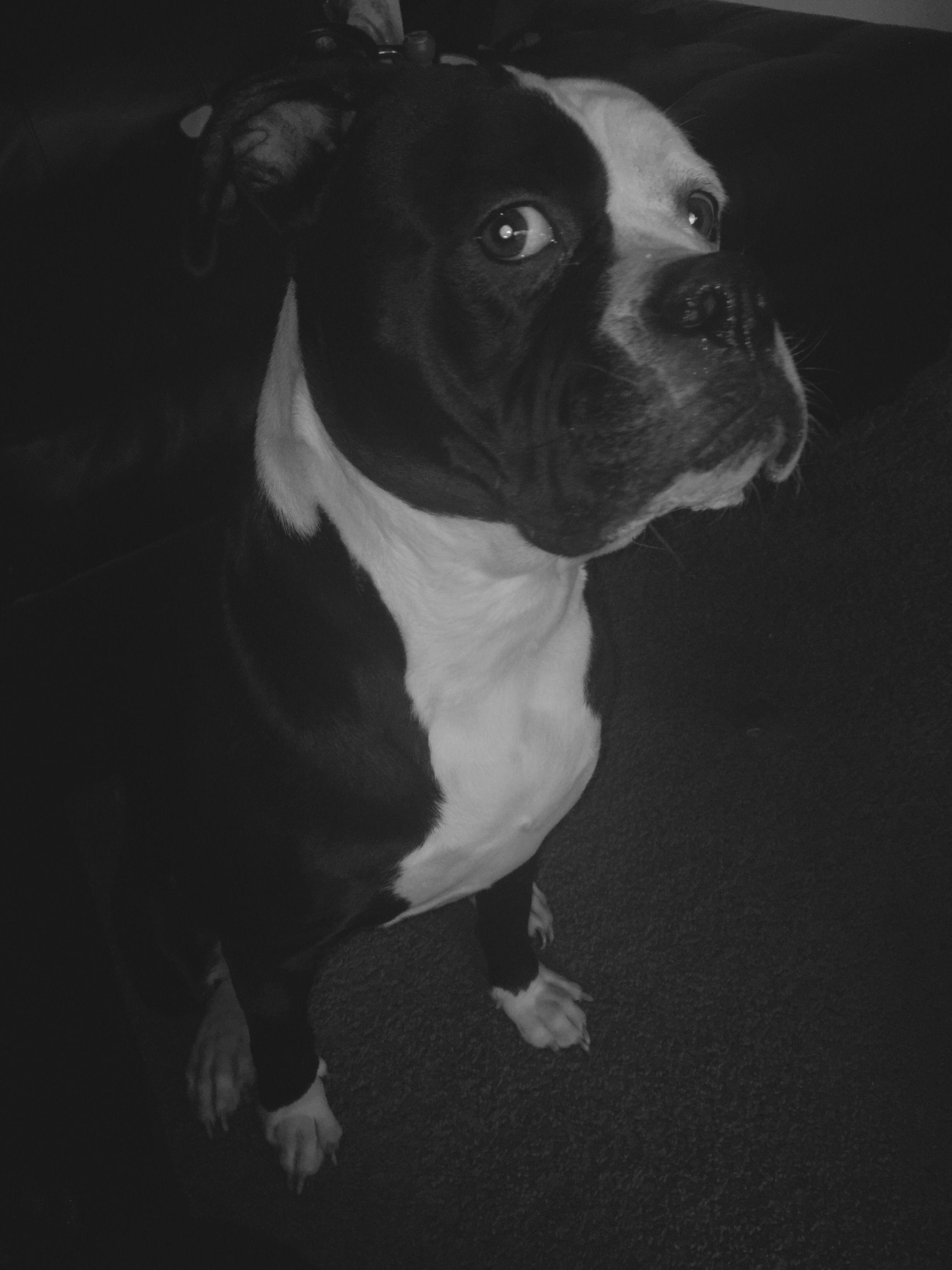 Black And White Pic American Bulldog Johnson I Love Her