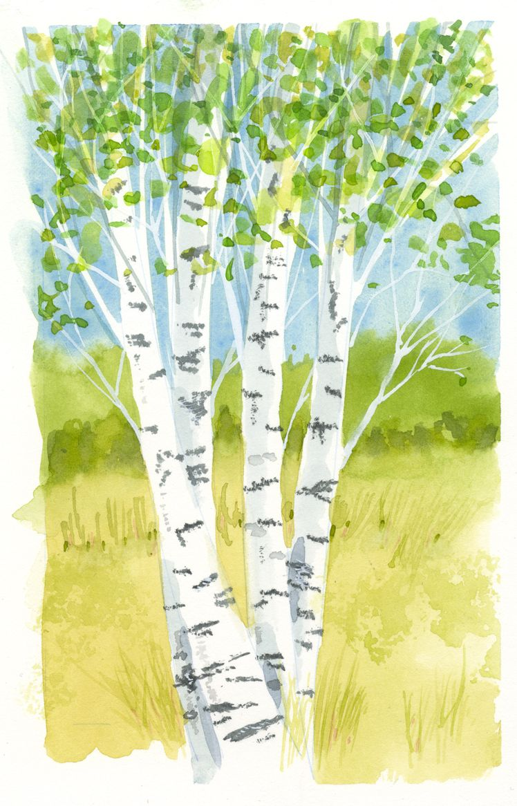 Jake Marshall watercolor. A little watercolor of birch trees in ...