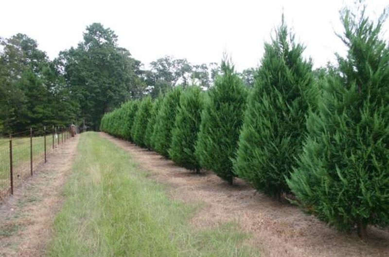Fast Growing Shrubs Fast Growing Shrubs Fast Growing Trees Fast Growing Evergreens