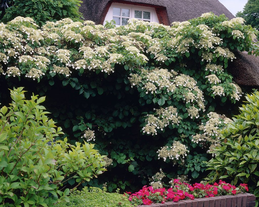 hydrangea petiolaris is a climbing vine plant native to. Black Bedroom Furniture Sets. Home Design Ideas