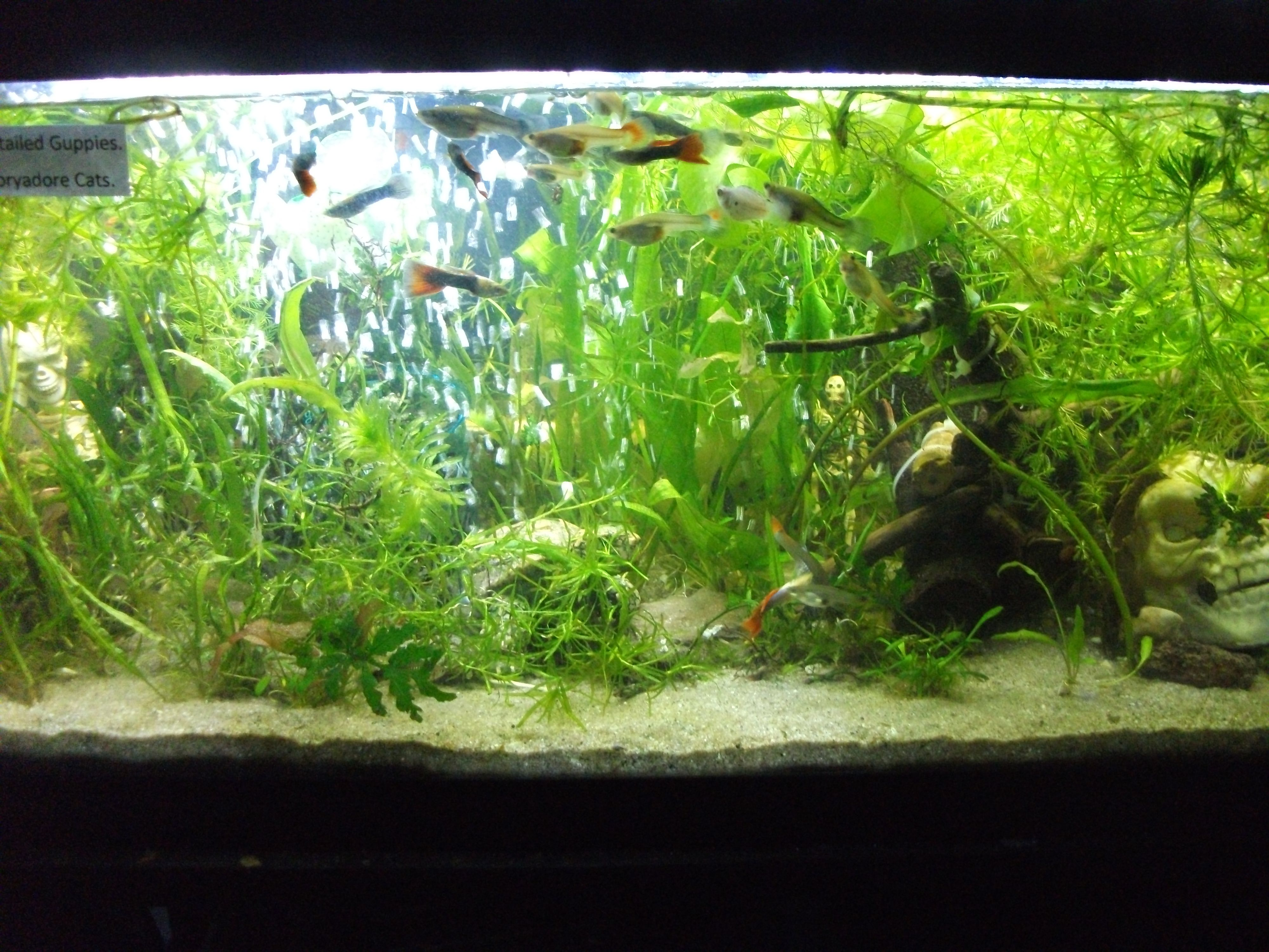 My 20 gallon long Guppy tank