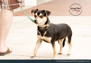 Adopt Dexter On Chiweenie Dogs Happy Dogs Chihuahua Dogs