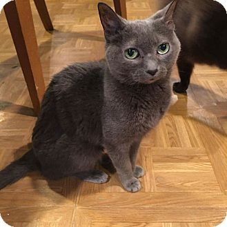Russian Blue Cat For Adoption In Lincolnwood Illinois Lady Russian Blue Russian Blue Cat Cat Adoption