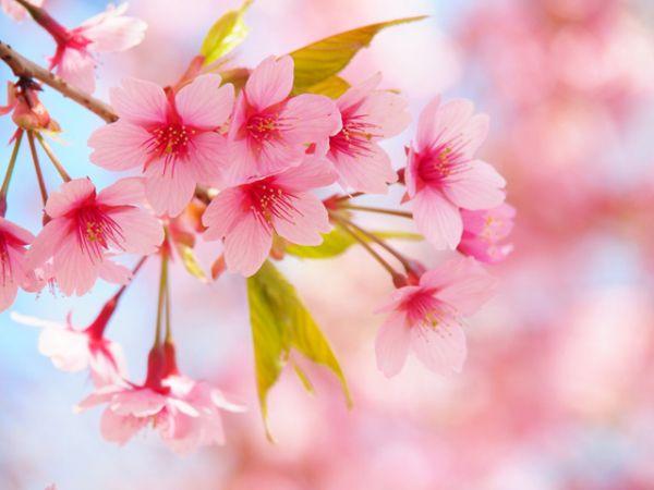 Цветы сакуры: нежность и красота in 2020 | Flowers ...