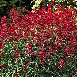 """Keys of Heaven: drought tolerant perennial. Sweet Scent All Summer Long!    Bushy plants up to 3' tall and 2' wide bear clusters of sweet-scented scarlet blooms that attract hummingbirds. Carefree naturalizing perennial. Shipped in 3"""" pots. Centranthus ruber coccineus     Zones: 4-8   Light: Full Sun  Height: 3'  Width: 2'   Deer tend to avoid"""