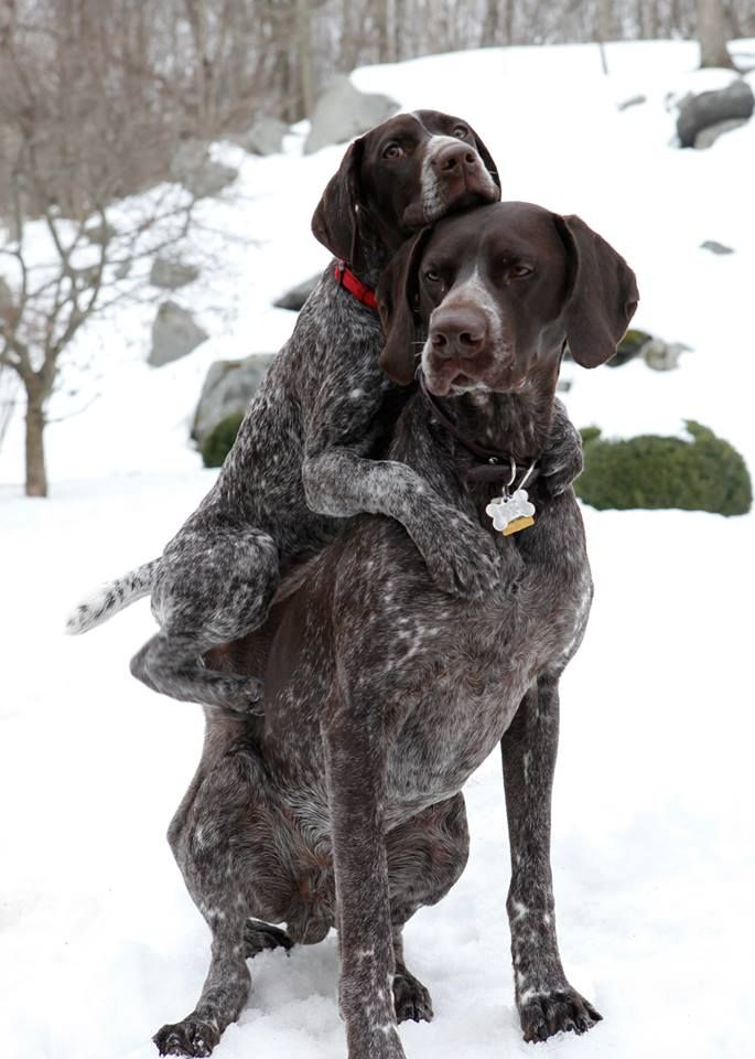 German Shorthaired Pointer His Feet Were Cold Susseste