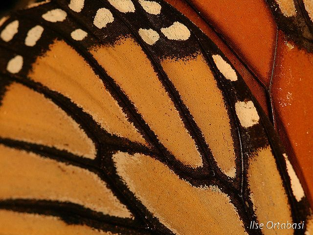 awesome Monarch butterfly wing close-up by Ilse Knatz Ortabasi, via Flickr...