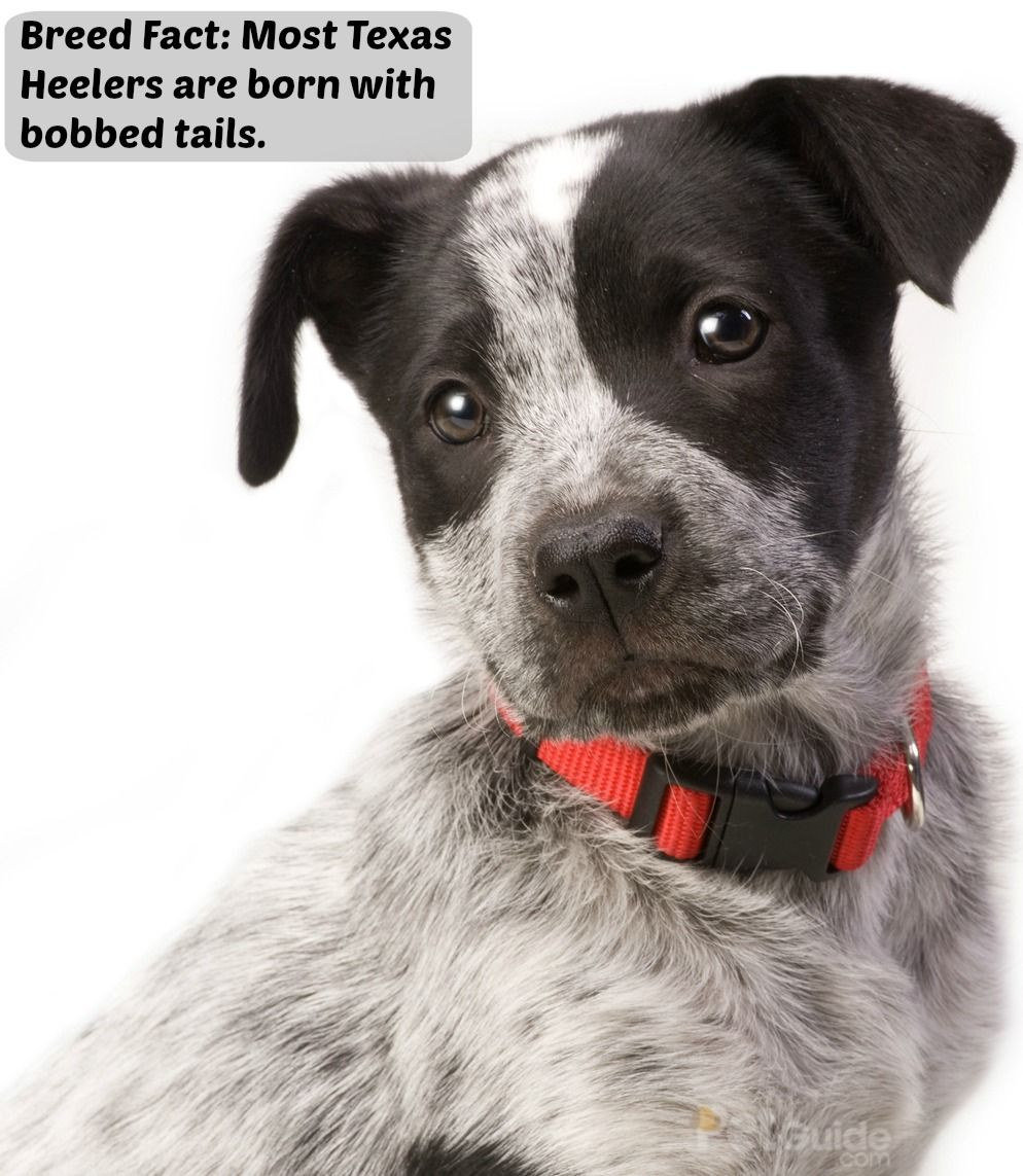 Texas Heeler Aussie cattle dog, Australian shepherd blue
