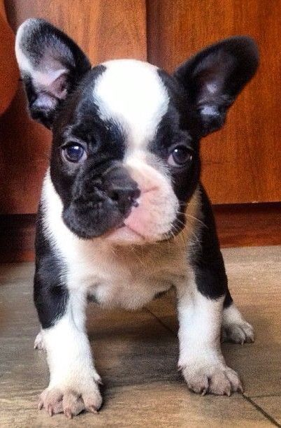 Moo I Mean Woof French Bulldog Puppy With Cow Markings