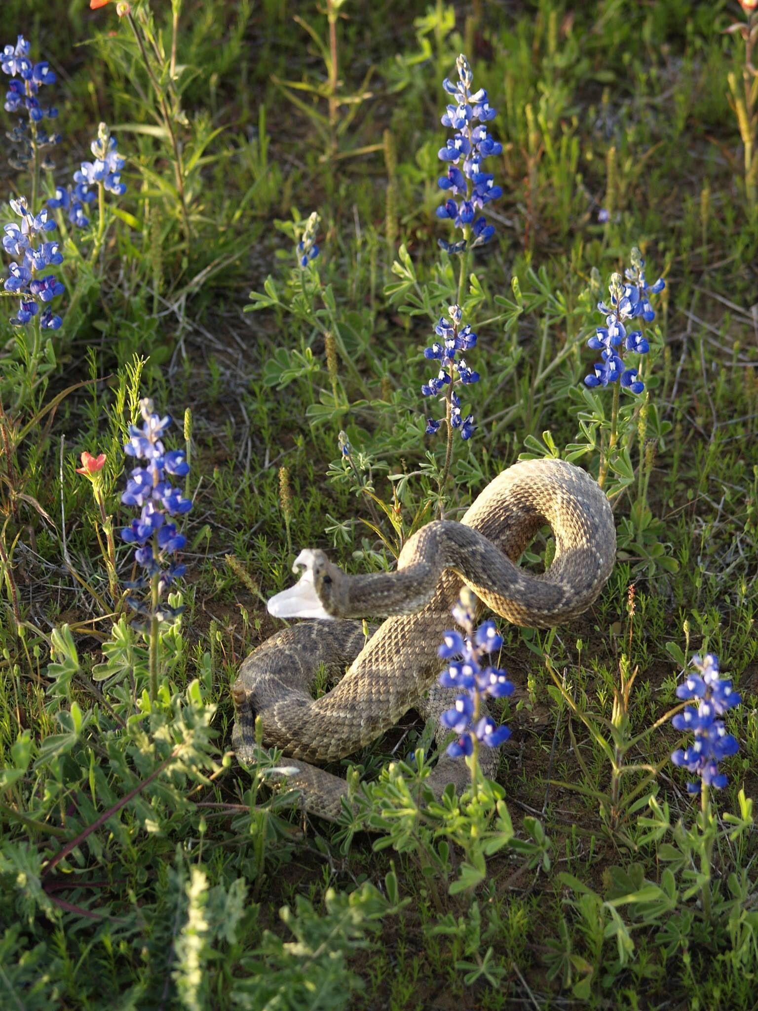 Rattlesnake among blue bonnet Texas spring flowers!! Una víbora de ...