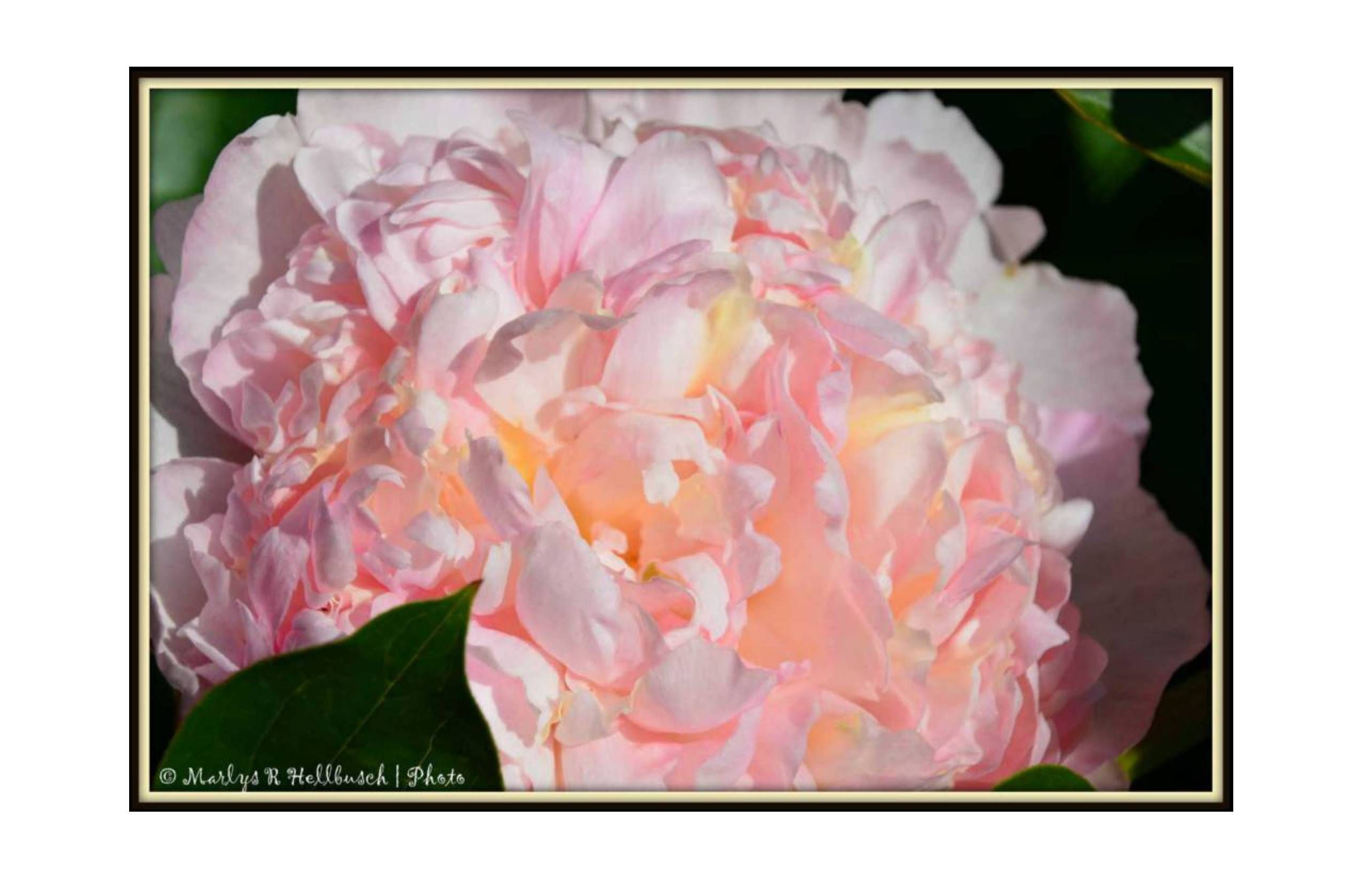 Peony ' Raspberry Sherbet':  Design your own personal card on line using your photos or use a pre-made template! It will be printed, stamped and mailed for you! Easy as 1,2,3! Retail or Wholesale www.PixByMarlys.com