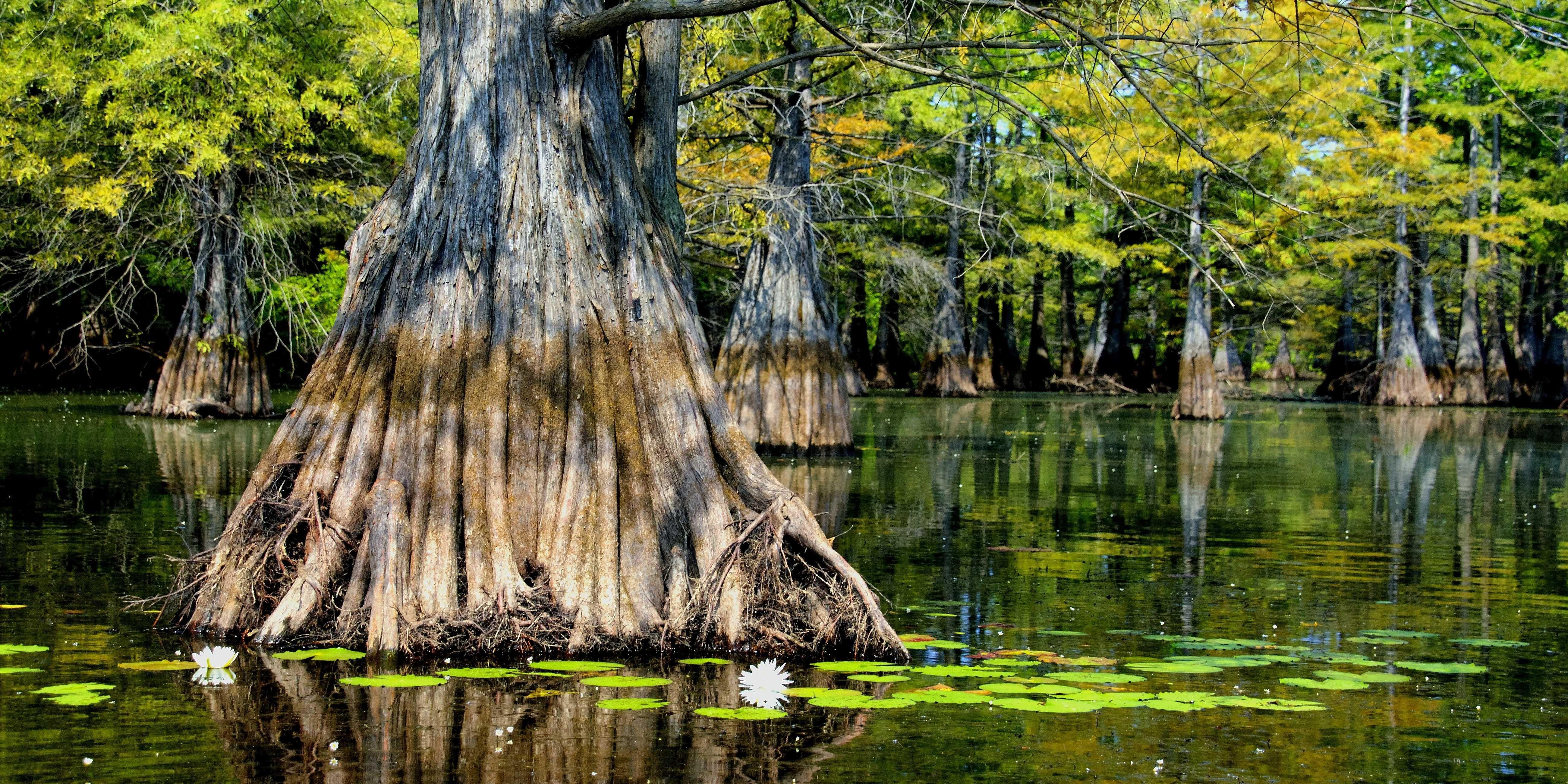 Louisiana Scenery Louisiana Swamp. [Desk...