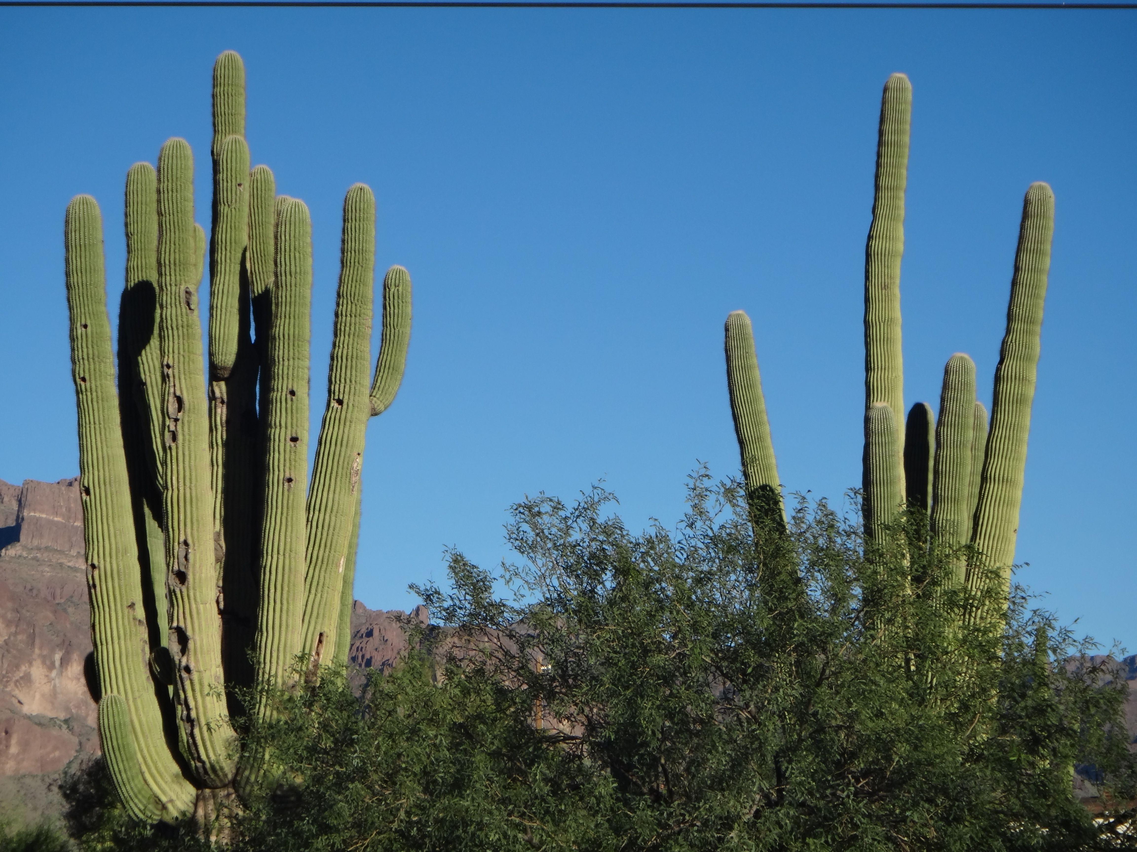 Saguaro Cactus Symbol Of Arizona State The Desert Nm Az Ca Nv