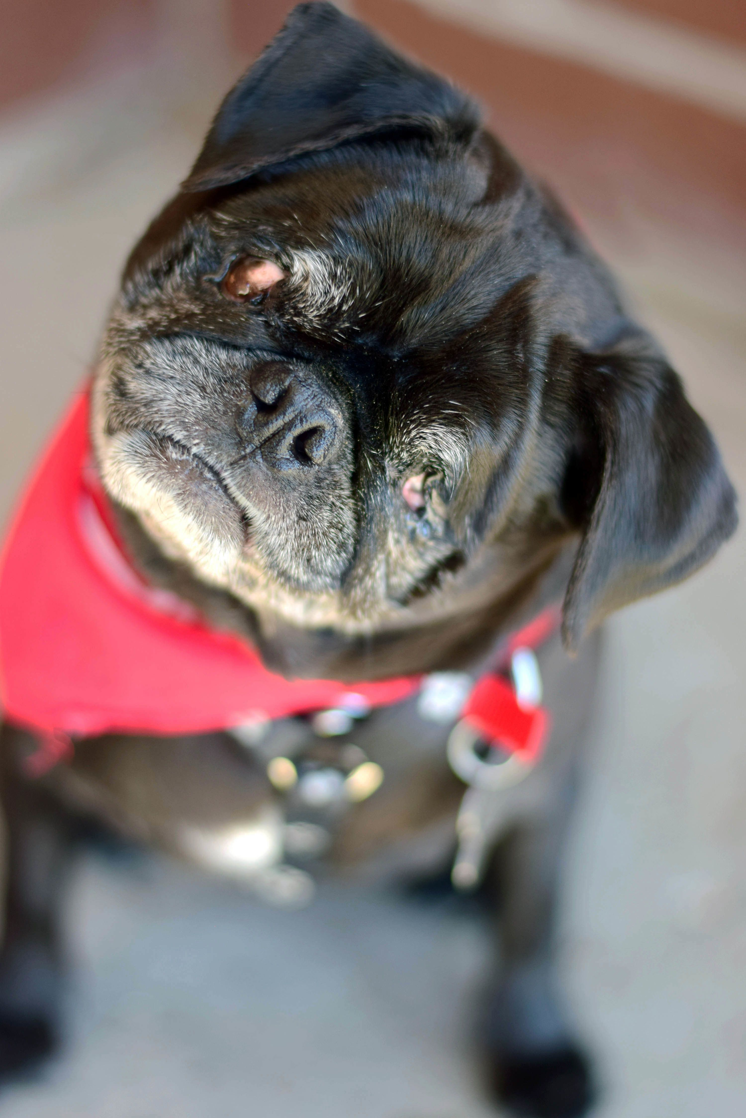 Adopt Emmy Lou on Pugs for adoption, Pug mix, Dogs