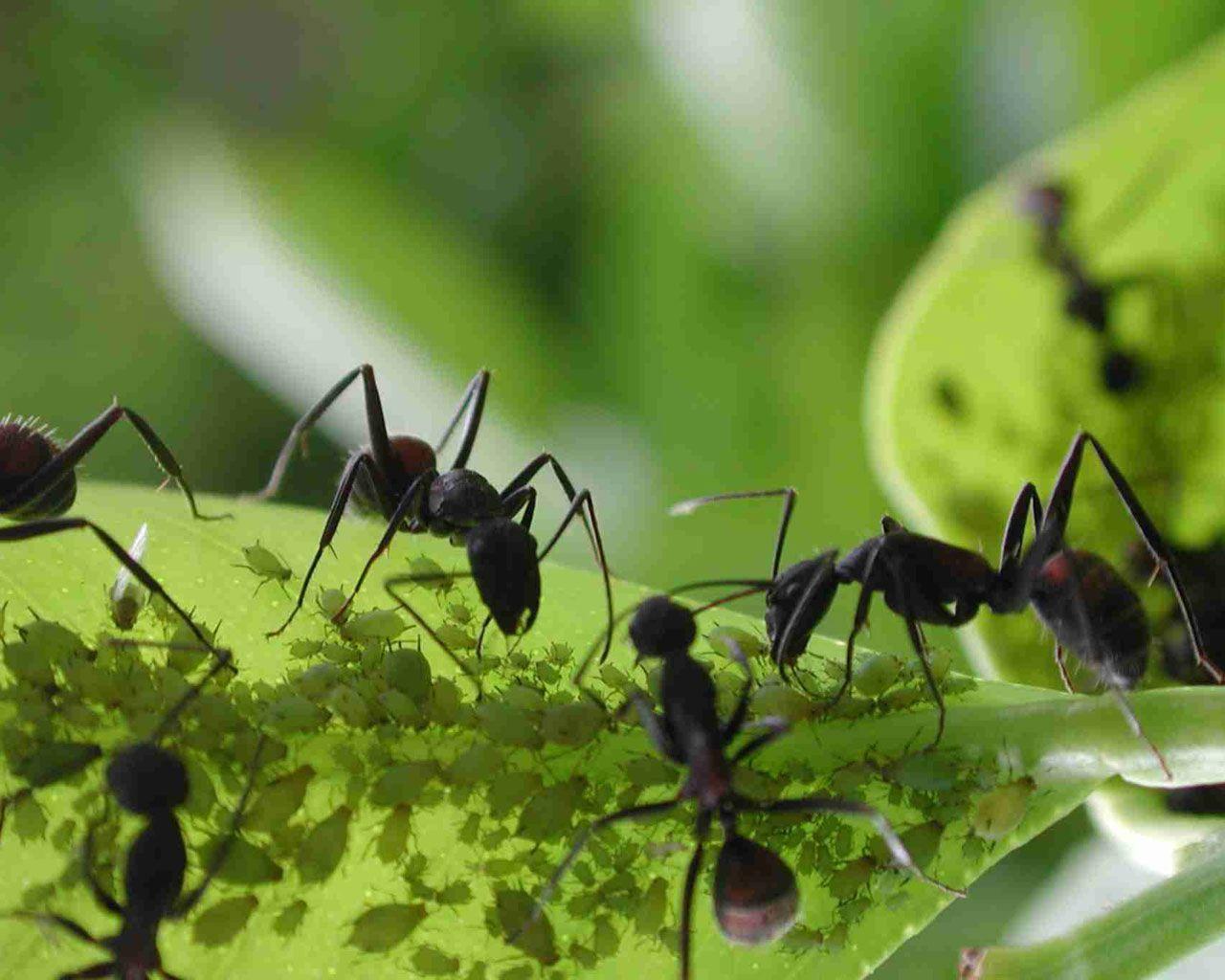 Cómo ahuyentar invasión de hormigas | Hormigas, Hormigas negras y Huerta