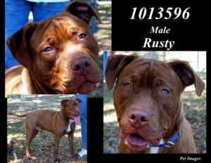 1013596 - Rusty is an adoptable Pit Bull Terrier Dog in Brooksville, FL.  ...