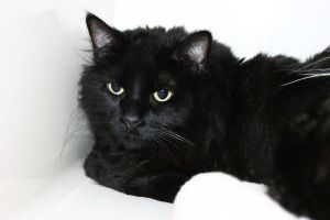 Emery Is An Adoptable Domestic Long Hair Cat In Duluth Mn Available At Animal Allies Duluth Emery Is A Handsome Long Haired B Long Haired Cats Black Cat Cats