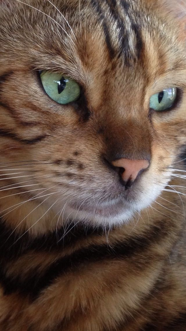 Scrappy Coco (Bengal Marble kitty) Animals, Cute cats, Cats