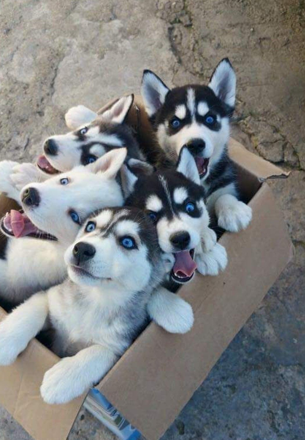 We Got A Litter Of Akc Siberian Husky Puppies They Will Come