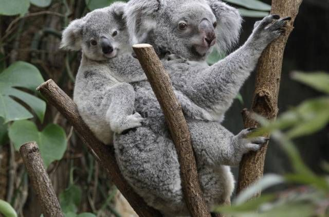 The yet unnamed male koala  joey rides on his  mother Goonderrahs back  at the Zoo in Duisburg, western Germany.